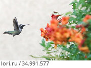 Anna's Hummingbird in Mesa, Arizona. Стоковое фото, фотограф Alexandra Buxbaum / age Fotostock / Фотобанк Лори