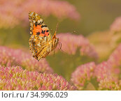 Painted lady butterfly (Vanessa cardui) flying over sedum (Hylotelephium... Стоковое фото, фотограф Andy Rouse / Nature Picture Library / Фотобанк Лори