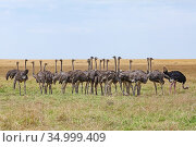 Ostrich (Struthio camelus) flock of juveniles on grass plains . Masai Mara National Reserve, Kenya. August. Стоковое фото, фотограф Anup Shah / Nature Picture Library / Фотобанк Лори