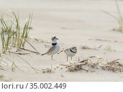 Piping plovers (Charadrius melodus), male approaching female while performing goose-stepping display before copulation, near nest site on beach, northern Massachusetts coast, USA, April. Стоковое фото, фотограф Marie Read / Nature Picture Library / Фотобанк Лори
