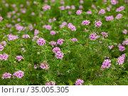 Beautiful flowers of grassy plant violet Geranium meadow. Стоковое фото, фотограф Яков Филимонов / Фотобанк Лори