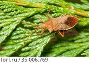 Box bug (Gonocerus acuteangulatus) on leylandii,  Bristol, UK, March. Стоковое фото, фотограф Michael Hutchinson / Nature Picture Library / Фотобанк Лори