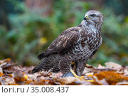 RF - Common buzzard (Buteo buteo) on ground among leaves in woodland... Стоковое фото, фотограф Edwin Giesbers / Nature Picture Library / Фотобанк Лори