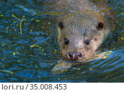 RF - European Otter (Lutra lutra) with fish prey, Germany, captive... Стоковое фото, фотограф Edwin Giesbers / Nature Picture Library / Фотобанк Лори