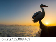 Dalmatian pelican (Pelecanus crispus) perched on boat, silhouetted at sunrise, Lake Kerkini, Greece, March. Стоковое фото, фотограф Edwin Giesbers / Nature Picture Library / Фотобанк Лори