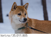 Shiba inu looks in the direction of in the winter forest. Стоковое фото, фотограф Михаил Панфилов / Фотобанк Лори