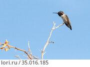 Anna's Hummingbirdl in Mesa, Arizona. Стоковое фото, фотограф Alexandra Buxbaum / age Fotostock / Фотобанк Лори
