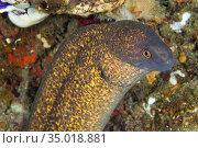 Giant Moray with Cleaner Shrimp, Moray Eel, Gymnothorax javanicus... Стоковое фото, фотограф Alberto Carrera Anaya / easy Fotostock / Фотобанк Лори