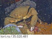 De Haan's Sponge Crab, Lauridromia dehaani, Lembeh, North Sulawesi... Стоковое фото, фотограф Alberto Carrera Anaya / easy Fotostock / Фотобанк Лори