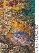 Moray eel, Cabo Cope-Puntas del Calnegre Natural Park,Mediterranean... Стоковое фото, фотограф Alberto Carrera Anaya / easy Fotostock / Фотобанк Лори