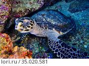 Hawksbill Sea Turtle, Eretmochelys imbricata, Bunaken National Marine... Стоковое фото, фотограф Alberto Carrera Anaya / easy Fotostock / Фотобанк Лори