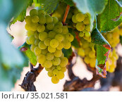 White grapes hanging on vine in vineyard. Стоковое фото, фотограф Яков Филимонов / Фотобанк Лори