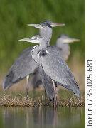 Grey Heron (Ardea cinerea), small flock standing in the water, Campania... Стоковое фото, фотограф Saverio Gatto / age Fotostock / Фотобанк Лори