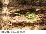Зелёная ящерица (Lacerta viridis) — вид ящериц из рода Зелёных ящериц. Стоковое фото, фотограф Кузин Алексей / Фотобанк Лори