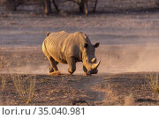 Africa, Namibia, Private reserve, White rhinoceros or square-lipped... Стоковое фото, фотограф Morales / age Fotostock / Фотобанк Лори