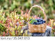 Лесные ягоды в корзинке. Заготовка черники на зиму. Стоковое фото, фотограф Наталья Осипова / Фотобанк Лори