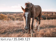 Animals mammals one young brown horse foal in a field in a meadow on a pasture in autumn. Стоковое фото, фотограф Светлана Евграфова / Фотобанк Лори