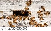 Honey bees swarming at the entrance of a painted wooden hive. Стоковое фото, фотограф Евгений Харитонов / Фотобанк Лори