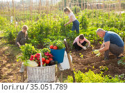 Basket with picked vegetables in garden with working people. Стоковое фото, фотограф Яков Филимонов / Фотобанк Лори