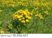 Желтые одуванчики (лат. Taraxacum) цветут весной на лугу. Стоковое фото, фотограф Елена Коромыслова / Фотобанк Лори