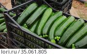 Crop of ripe green zucchini in plastic crates on farm field on background with working people. Стоковое видео, видеограф Яков Филимонов / Фотобанк Лори