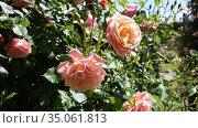 Rose flowers blooming in spring garden. Стоковое видео, видеограф Яков Филимонов / Фотобанк Лори