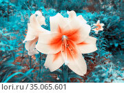 Blooming lily curly royal curls on a summer day. Стоковое фото, фотограф Акиньшин Владимир / Фотобанк Лори