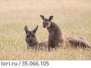 Western grey kangaroo (Macropus fuliginosus) female and joey aged nine months resting in grassland. Kangaroo Island, South Australia. Стоковое фото, фотограф Suzi Eszterhas / Nature Picture Library / Фотобанк Лори