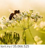 Пчела собирает нектар на белых цветках при закатном солнце. Стоковое фото, фотограф Игорь Низов / Фотобанк Лори