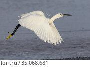 Little Egret (Egretta garzetta), side view of an adult in flight, ... Стоковое фото, фотограф Saverio Gatto / age Fotostock / Фотобанк Лори