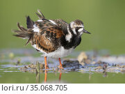 Ruddy Turnstone (Arenaria interpres), adult female shaking its plumage... Стоковое фото, фотограф Saverio Gatto / age Fotostock / Фотобанк Лори