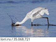 Little Egret (Egretta garzetta), side view of an adult fishing on... Стоковое фото, фотограф Saverio Gatto / age Fotostock / Фотобанк Лори