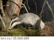 Badger (Meles meles) in forest at night, prior to logging. Akershus, Norway. Sequence 1/2. Стоковое фото, фотограф Pal Hermansen / Nature Picture Library / Фотобанк Лори
