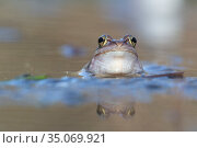 Moor frog (Rana arvalis). Biebrza National Park, Poland. April. Стоковое фото, фотограф Pal Hermansen / Nature Picture Library / Фотобанк Лори