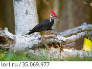 Pileated woodpecker (Dryocopus pileatus) landing to feed on rotting tree trunk, Acadia National Park, Maine, USA. June. Стоковое фото, фотограф George Sanker / Nature Picture Library / Фотобанк Лори