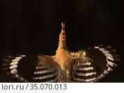 Eurasian Hoopoe, (Upupa epops) in flight with lizard in beak, Pusztaszer protected landscape, Kiskunsagi, Hungary, May. Стоковое фото, фотограф Staffan Widstrand / Nature Picture Library / Фотобанк Лори