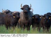 Herd of Water Buffalo (Bubalus bubalis) Pusztaszer protected landscape, Kiskunsagi, Hungary, May. Стоковое фото, фотограф Staffan Widstrand / Nature Picture Library / Фотобанк Лори
