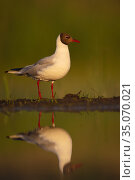 Black-headed gull (Larus ridibundus) reflected in water, Pusztaszer protected landscape, Kiskunsagi, Hungary, May. Стоковое фото, фотограф Staffan Widstrand / Nature Picture Library / Фотобанк Лори