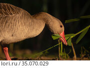 Greylag goose, (Anser anser) grazing on reeds, Pusztaszer protected landscape, Kiskunsagi, Hungary, May. Стоковое фото, фотограф Staffan Widstrand / Nature Picture Library / Фотобанк Лори