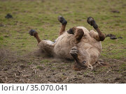 Wild-living Konik horse, (Equus caballus) rolling in dirt, Oostvaardersplassen Nature Reserve, The Netherlands, April. Стоковое фото, фотограф Staffan Widstrand / Nature Picture Library / Фотобанк Лори