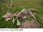 Carcass of Red deer (Cervus elaphus) with just skin and bones left, Oostvaardersplassen Nature Reserve, The Netherlands, April. Стоковое фото, фотограф Staffan Widstrand / Nature Picture Library / Фотобанк Лори