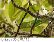 Blue-crowned chlorophonia (Chlorophonia occipitalis), El Triunfo Biosphere Reserve, Chiapas, southern Mexico, May. Стоковое фото, фотограф Claudio Contreras / Nature Picture Library / Фотобанк Лори
