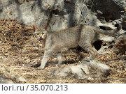 Gordon's wildcat (Felis silvestris gordoni), Wadi Darbat, Oman, February. Стоковое фото, фотограф Hanne & Jens Eriksen / Nature Picture Library / Фотобанк Лори