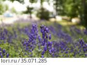 Blue aconite inflorescence on blurred park background. Стоковое фото, фотограф Евгений Харитонов / Фотобанк Лори