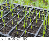 Newly germinated leek seedlings growing in modules in a greenhouse. Стоковое фото, фотограф Craig Joiner / age Fotostock / Фотобанк Лори