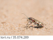 Northern dune tiger beetle (Cicindela hybrida). The Netherlands. May. Стоковое фото, фотограф Edwin Giesbers / Nature Picture Library / Фотобанк Лори