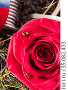 Ladybug on red rose macro. Стоковое фото, фотограф Иван Михайлов / Фотобанк Лори