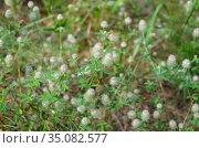 Клевер пашенный (лат. Trifolium arvense) цветет на лугу. Стоковое фото, фотограф Елена Коромыслова / Фотобанк Лори