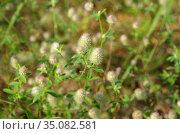 Цветущий клевер пашенный (лат. Trifolium arvense) крупным планом. Стоковое фото, фотограф Елена Коромыслова / Фотобанк Лори
