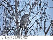 Сooper's hawk. Стоковое фото, фотограф Александр Карпенко / Фотобанк Лори